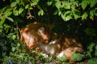 Maine Coon Ablutions