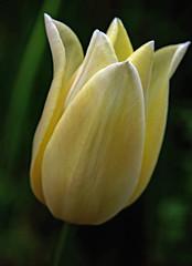 Our garden . Tulip (Uhlenhorst) Tags: 2017 germany deutschland bavaria bayern plants pflanzen flowers blumen blossoms blüten