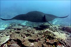 Черная манта над рифом. Black manta over the reef (atardecer2018) Tags: bali 2017 underwater scubadiving diving fish manta дайвинг бали
