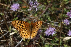 IMG_4535 (edward_rooks) Tags: sierraazulopenspacepreserve bald mountain mount umunhum insects wildflowers butterflies bees wasps assassin bug