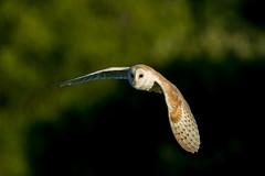 Barn Owl (Simon Stobart) Tags: barn owl tyto alba wild northeast england uk flying dusk