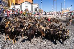 2018-06-24 Ziegenbad in Puerto de la Cruz (01) - Das Ziegenbad (Baño de Cabras) ist eine alte Tradition der Ureinwohner der Kanaren (Guanchen). Es wird jedes Jahr am 24. Juni in Puerto de la Cruz auf Teneriffa veranstaltet. Ziegenherden aus dem Umland wer (mike.bulter) Tags: animal bañodecabras canarias canaries canaryislands esp espana goat hafen kanaren kanarischeinseln puertodelacruz spain spanien tenerife teneriffa tier tradition ziege ziegenbad ziegenbaden baño de las cabras