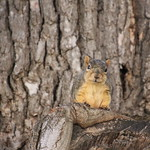 Squirrels in Ann Arbor at the University of Michigan (July 6th, 2018) thumbnail