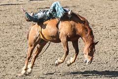 Layin' Down On The Job (wyojones) Tags: wyoming codystampederodeo cody cowboy horse barebackbroncriding bronc mane hat cowboyhat boots saddle chaps man ride rodeo wyojones