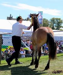 Mountain and Moorland (Elrenia_Greenleaf) Tags: dun highlandpony highland royalhighlandshow rhs rhs2018 royalhighlandshow2018 equestrian horsephotography horseshow ponies