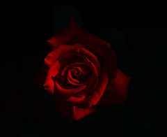 mysterious (ranchodon) Tags: flower red rose nature