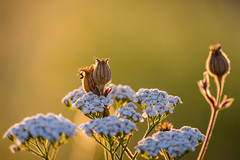 Am Morgen im Feld (UpuautX) Tags: morgen morning sony a7iii 70300mm flowers blumen feld