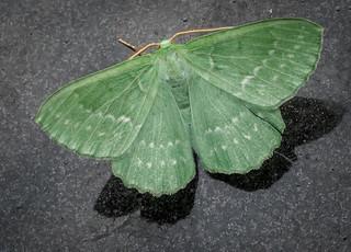 Large Emerald - Geometra papilionaria