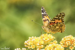 Painted lady butterfly on yellow flowers (LucPouliot) Tags: antenna blurredbackground butterfly closeup colorful copyspace cosmopolitan eyes flower green insect legs macro macrophotography nectar nopeople orange paintedlady plant pollen portrait proboscis spot vertical wings yellow