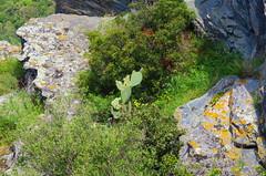 568 - Cap Corse - Nonza, sur la falaise (paspog) Tags: nonza captcorse corse corsica france mai may 2018 falaise cliff castus