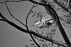 Sur un arbre perché. (Diegojack) Tags: vaud suisse tolochenaz d7200 nikon nikonpassion oiseaux hérons perché pêche observation noirblanc
