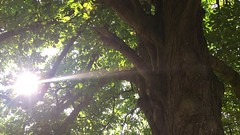 Horse Chestnut (Aesculus hippocastanum) - trunk, branches & leaves in the sun - July 2018 (Exeter Trees UK) Tags: horse chestnut aesculus hippocastanum trunk branches leaves sun july 2018