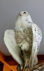IMG_1002 (sally_byler) Tags: snowy owl mackinac island michigan feathers taxidermy