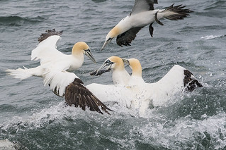 Gannet - attacked from all angles