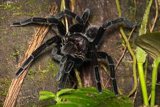 Tarantula (Pamphobeteus sp)