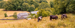 17th July 2018 (Rob Sutherland) Tags: little hartbarrow cartmel fell cow cattle livestock agriculture farm farming agricultural lakes lakeland lakedistrict nationalpark cumbria dry drought arrid cumbrian britain british england english uk traditional rural postcard summer hot grazing hill side