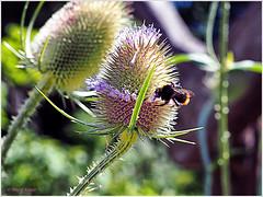 "Im Gasthaus ""Zum lila Kranz"" (magritknapp) Tags: macroorcloseup 7dwf bokeh blumen biene flower bee abeille fleur flores pájaro abelha fiori volatile bloemen vogels vangen blommor blomster bi kwiaty ptak uniflonainsmileonsaturday"