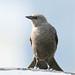 Juvenile Brewer's Blackbird-1438.jpg (GaryKurtz) Tags: