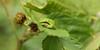 Peek-a-booh (Wim Zoeteman) Tags: boomkikker hylaarborea ranaarborea europeantreefrog neede wimzoeteman juni june 2018 braam rubusfruticosus blackberry