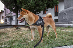Yuki (GennaroCastigliaPhoto) Tags: shiba dog mydog dogs