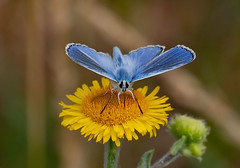 Common Blue (RobLesliePhotography) Tags: