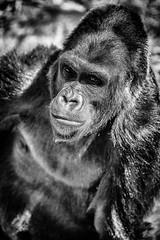 American Portrait (Thomas Hawk) Tags: animal bayarea california sfbayarea sanfrancisco sanfranciscobayarea sanfranciscozoo usa unitedstates unitedstatesofamerica aniimal bw gorilla monkey zoo us fav10 fav25 fav50