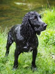 Soggy Dog (Anologital) Tags: sprocker dog spaniel english cocker black fur hair wet soggy