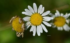 Bloom_0868 (Porch Dog) Tags: 2018 garywhittington nikond750 nikkor105mm macro outdoors nature weed summer june