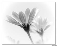 Daisies (Ken Mickel) Tags: africandaisy beautiful floral flower flowers flowersplants kenmickelphotography plants blackandwhite blossom botanical closeup daisy flora nature osteospermum photography upclose
