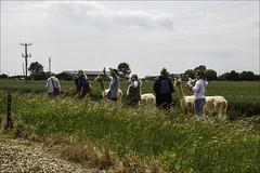 The Alpaca Walkers (Elaine 55.) Tags: walkers alpacas rhdr railway