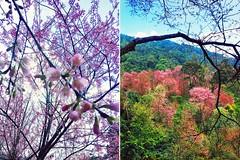 Cherry Blossom - Doi Pui - Chiang Mai - Thailand (♥ Cateaclysmic ♥) Tags: chiang mai thailand doi put sakura cherry blossom flower festival season cute kawaii pink hanami