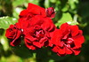 DSC_0393 (PeaTJay) Tags: nikond750 sigma reading lowerearley berkshire macro micro closeups gardens outdoors nature flora fauna plants flowers rose roses rosebuds