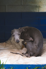 DSC_2121 (fábioparasmosánchez) Tags: dogs pets cute animals portraits eyes galgo italiano italian german shepherd adoption adopt