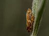 Alder SpittleBug - Aphrophora alni (markhortonphotography) Tags: cuckoospit deepcut surrey stem macro aphrophoraalni arachnid nature bug surreyheath alderspittlebug froghopper insect lavender wildlife invertebrate