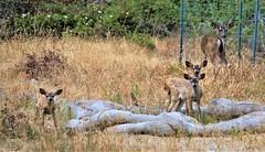 June22deertriplets2684 (Michael T. Morales) Tags: deermmuledeer pacificgrove urbandeer antlers