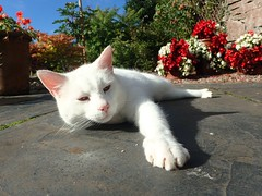 Contentment - enjoying the summer sunshine (linda.m.davison@btinternet.com) Tags: weiss blanc gatto gato kat cute katzen chat stretching bluesky hot cat whitecat summer white