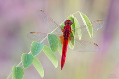 Fire (Skodiar) Tags: feuerlibelle libelle dragonfly insekt insect insekten makro macro natur nature canon canon7dmk2 canon18035l