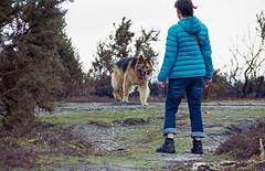 alsation stand off (doggle) Tags: canoneos500n kodakportra400 newforest germanshepherd alsation dog