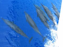 Stenella longirostris (sharksfin) Tags: sudan redsea rotesmeer ocean marine life wild sea diving marinelife meer reef coral riff deepsouth