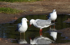 Gulls in a puddle (Lesley A Butler) Tags: victoria hastings gulls australia
