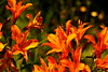 Pictures Of Lily (acwills2014) Tags: lily orange thewho picturesof picturesoflily bokeh rich colours
