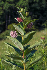 Asclepias syriaca (Common Milkweed) (jimf_29605) Tags: asclepiassyriaca commonmilkweed blueridgeparkway northcarolina sony a7rii 90mm alleghenycounty