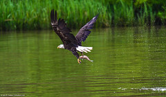 2018.06.23.9712 Bald Eagle (Brunswick Forge) Tags: 2018 grouped bird birds animal animals outdoor outdoors nature wildlife nikond500 tamron150600mm water commented favorited eagle eagles