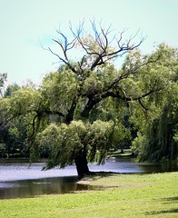 Willow (LeanneRichelle) Tags: weeping willow weepingwillow willowtree willowtrees willows weepingtree weepingwillowtree tree trees green nature park riversidepark lake grass greentree willowbranches willowleaves branches leaves