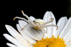 Argh! Look At My Feet. They Are All Dirty Now! - _TNY_4880 (Calle Söderberg) Tags: macro canon5dmkii canon canoneos5dmarkii 5d2 canonef100mmf28usmmacro raynox dcr250 flash meike mk300 glassdiffusor spider spindel crabspider goldenrodcrabspider krabbspindel blomkrabbspindel misumena vatia thomisidae white legs dirtyfeet pollen yellow daisy oxeyedaisy leucanthemum vulgare chrysanthemum prästkrage blackbackground flower flowercrabspider chameleon threat raised stubble f27 araneae arachnida