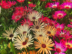 Flowers and Bee (Explore #127) (Aussie~mobs) Tags: nature flower pretty pink bee daisy pigface painterly aussiemobs