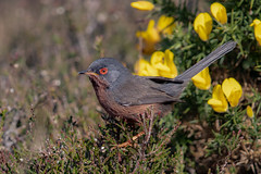 Dartford Warbler (Mr F1) Tags: wils dartfordwarbler johnfanning smallbird redeye dorset arne rspb detail wildlife outdoors nature hat