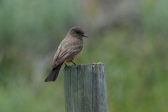 Clarke_180622_5462.jpg (www.raincoastphoto.com) Tags: sayornissaya saysphoebe flycatchers birdsofbritishcolumbia birdsofcanada birdsofnorthamerica birds