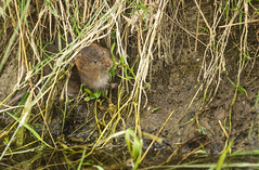 Rare rongeur (Eric Penet) Tags: campagnol amphibie somme animal sauvage wildlife wild france faune picardie rongeur southwestern water vole mammifère mormal rodent