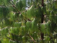 Nagarkot pine (Šarūnas Burdulis) Tags: nagarkot nepal